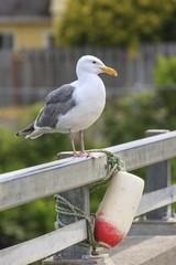 Herring gull on a railing.