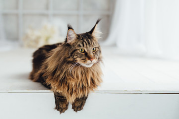 Maine Coon cat on white background