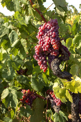 Red grapes on the vine August 2018