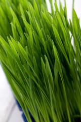 living growing healthy wheatgrass