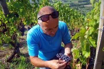 vigneron qui vérifie la maturité du raisin