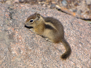 Cute brown chipmunk on a marble-like rock, USA