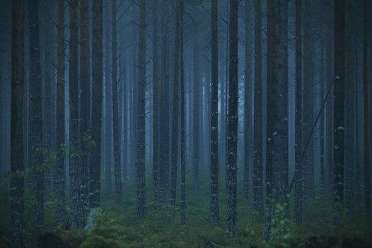 Blue forest a foggy morning in Hälsingland, Sweden