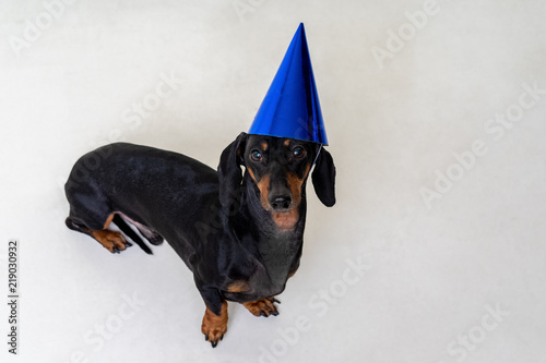 A Studio Shot Of Dog Puppy The Dachshund Breed Black And Tan Wearing Blue Party Happy Birthday Hat Isolated On White Background