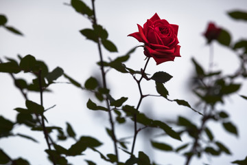 One Beautiful Rose Blossom / Detail of red single rose blossom at background of dark green foliage and grey sky