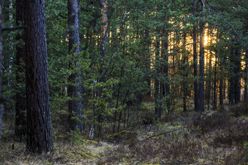 A view of the pine tree forest at sunset, Latvia