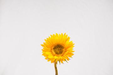 Sunflower only, centered on white; studio, still life (c)Bob Bingham Photo