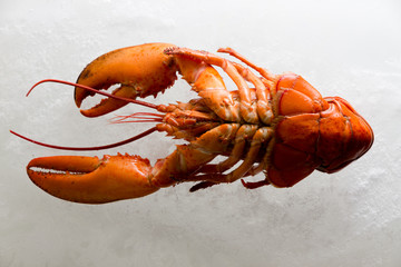 Underside of a fresh whole red boiled lobster