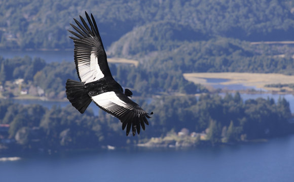 Andean Condor, a large bird that lives along the Andes mountain range.