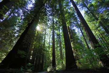 The Giant Trees Of The Redwood Forest California