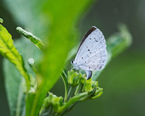 The Holly Blue butterfly that belongs to the lycaenids or blues family and is native to Eurasia and North America. Celastrina argiolus.