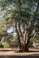 Live coast oak tree, tall healthy coastal evergreen oak, forest in southern california, vertical