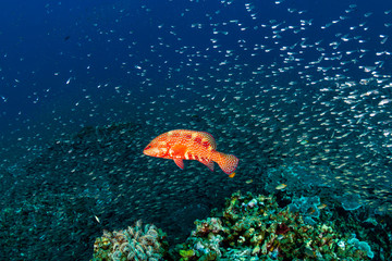 Fototapete - A brightly colored Coral Grouper (Rock Cod) amongst tropical fish on a coral reef