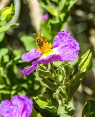 Bee on a pink flower in a field in Arizona desert