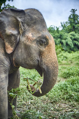 elephant play with grass