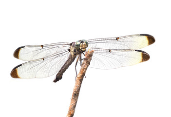 Focus Stacked Close-up Image of a Blue Dasher Dragonfly Isolated on White