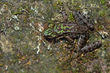 Swinhoe's frog (Odorrana swinhoana) (Boulenger, 1903).