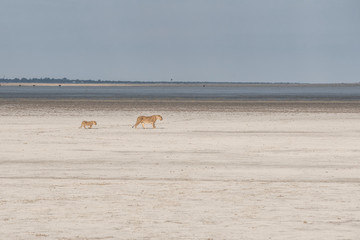 lioness and lion cub in Namibia