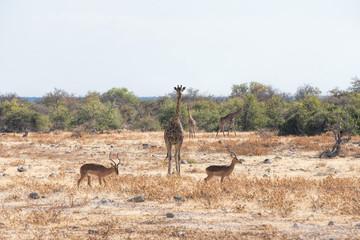 impala and giraffe in namibia