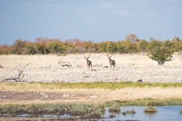 Kudu and oryx in Namibia