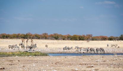 giraffes and zebras in Namibia