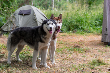 Two husky dogs stand on the background of a tent in tourist camping in the summer forest.