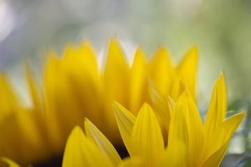 Sonnenblume einzelne Blüte mit offener Blende und weichgezeichnetem Hintergrund