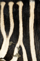 animal skin, Zebra or Burchell's Zebra (Equus burchelli), striped background texture