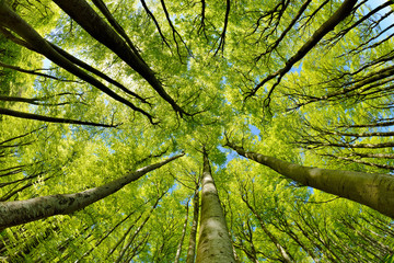 Photo sur Plexiglas Forets Beech Trees Forest in Early Spring, from below, fresh green leaves
