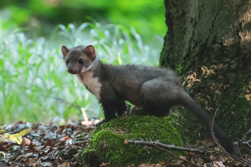 Stone marten, Martes foina, with clear green background. Detail portrait of forest animal. Small predator sitting on the beautiful green mossy tree trunk in the forest. Wall mural