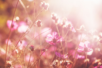 Beautiful pink flowers in soft focus in the rays of the setting sun, tender bokeh, natural floral background and texture