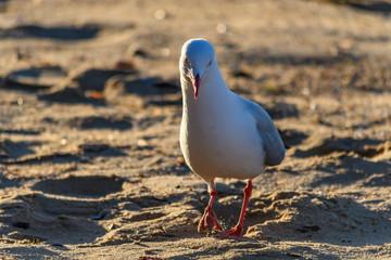 Seagull having an early morning stroll on the Beach