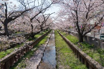 元住吉の渋川の桜