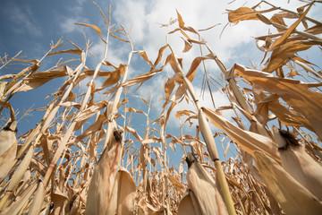 Vertrockneter Mais in Süddeutschland Fototapete