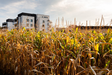 Cornfield in the middle of the city near modern apartment house. Urban sustainability concept