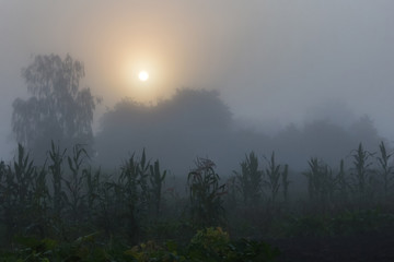 Autumn Landscape: The sun looks through the morning fog. Corn silhouettes on the field in the misty morning_