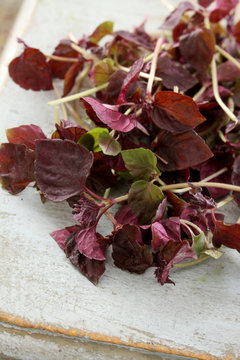 herb micro shiso leaf