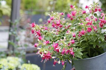 Fuchsia magellanica in for sale in a flower street market