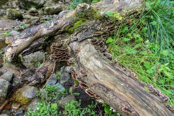 Bracket Fungi Growing on an Old Log