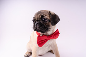 Funny pug puppy, on white background