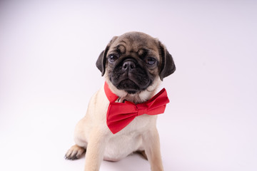 Funny pug puppy on a white background. Empty space for text. Pug resting
