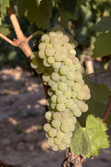 Green grapes on the vine August 2018