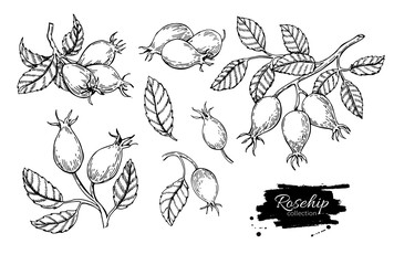 Rosehip vector drawing. Isolated berry branch sketch on white ba