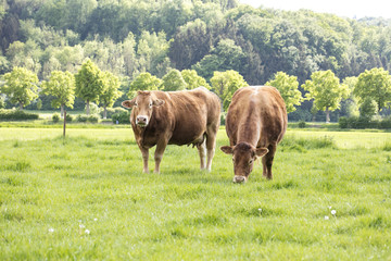 red cows on a grassy green pasture,