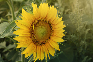 Door stickers Sunflower Zonnebloem in volle bloei