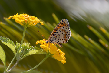 Melitaea didyma - Spotted fritillary