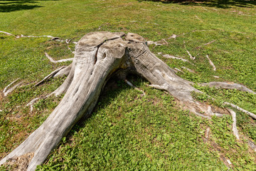 Old Tree Stump on a Green Grass