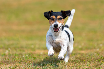 Dog Runs Over A Seared Dried Meadow In Summer - Jack Russell Terrier Bitch