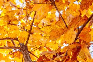 Yellow maple autumn leaves against sky. Gangwon, South Korea