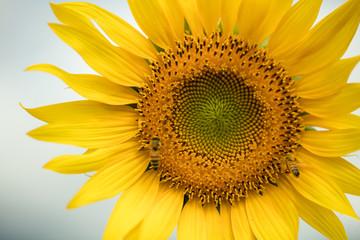 花 ヒマワリ・向日葵